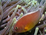 [1226] Amphiprion akallopisos - poisson-clown mouffette ou poisson clown a bande dorsale