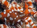Wunderpus photogenicus - poulpe miraculeux :
