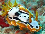 [1310] Chromodoris michaeli - doris de Michaël