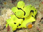 Aegires minor - nudibranche banane :