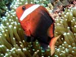 [2081] Amphiprion melanopus - poisson clown bistré