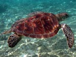[76] Chelonia mydas - tortue verte ou tortue franche
