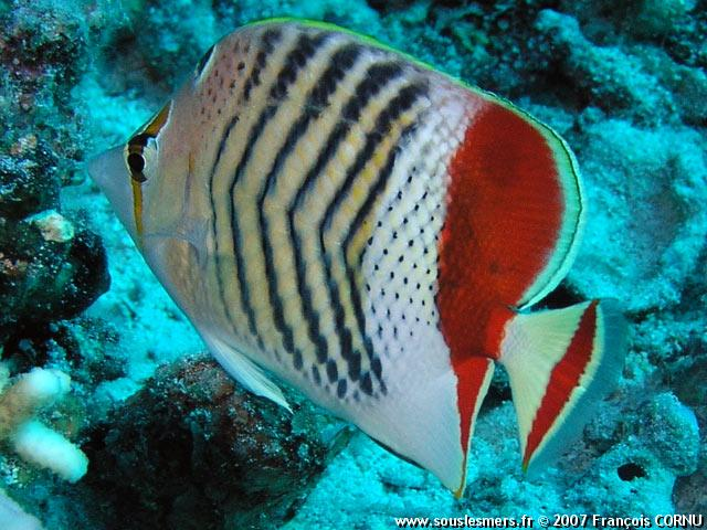 Chaetodon paucifasciatus - poisson-papillon orange