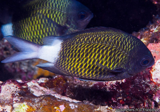 Chromis chrysura - chromis à queue blanche