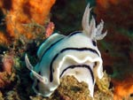 Chromodoris willani - doris de Willan