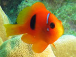 [1635] Amphiprion frenatus - poisson-clown rouge ou poisson-clown tomate, poisson-clown à bride
