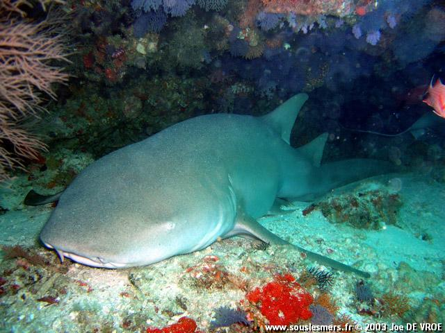 Nebrius ferrugineus - requin nourrice fauve