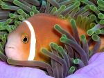 [972] Amphiprion nigripes - poisson-clown des Maldives ou poisson clown des Maldives