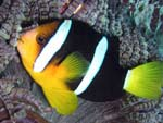 [983] Amphiprion clarkii - poisson-clown de Clark ou poisson clown de Clark