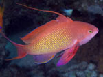 [579] Pseudanthias squamipinnis - barbier rouge à queue de lyre ou anthias, barbier