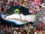 [1396] Canthigaster smithae - canthigaster bicolore