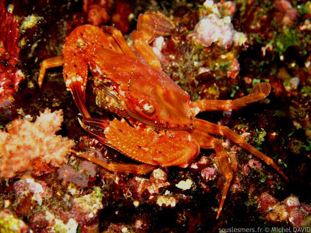 Charybdis (Gonioinfradens) paucidentatus - crabe nageur rouge