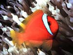 Amphiprion frenatus - poisson-clown rouge :