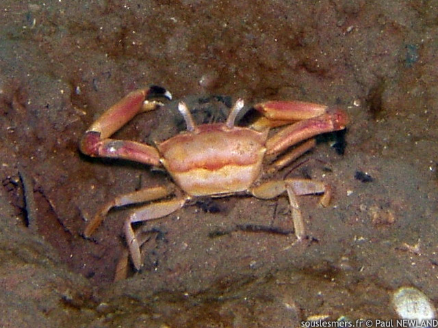Goneplax rhomboides - crabe longues-pattes