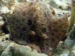 Discodoris fragilis - doris fragile :