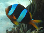 [1492] Amphiprion latifasciatus - poisson-clown de Madagascar