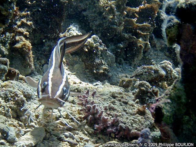 SOUS LES MERS : Plotosus lineatus - poisson-chat rayé