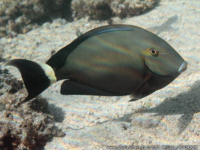 Acanthurus blochii - chirurgien à queue barrée