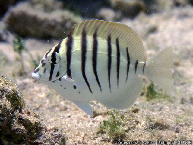 Acanthurus polyzona - chirurgien barré