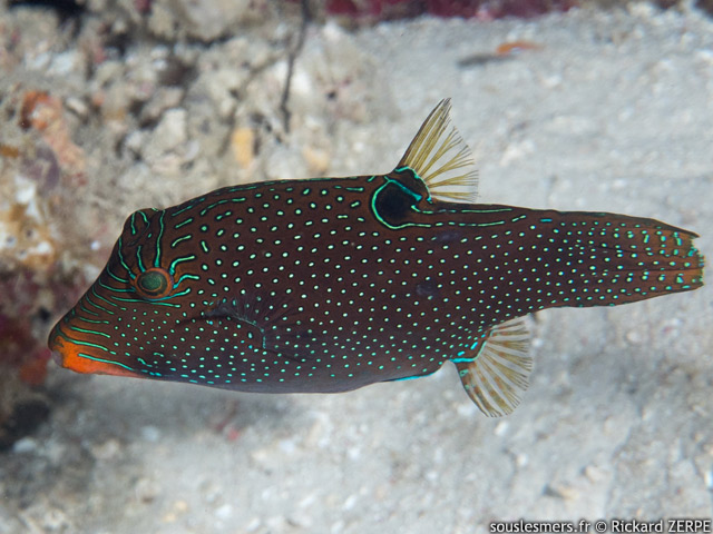 Canthigaster papua - canthigaster papou
