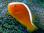 [1579] Amphiprion sandaracinos - poisson-clown à bande dorsale ou poisson clown des Philippines, poisson-clown jaune, amphiprion mouffette oriental, poisson clown rayé