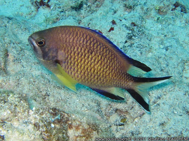 Chromis limbata - castagnole à queue rayée