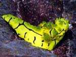Aegires minor - nudibranche banane