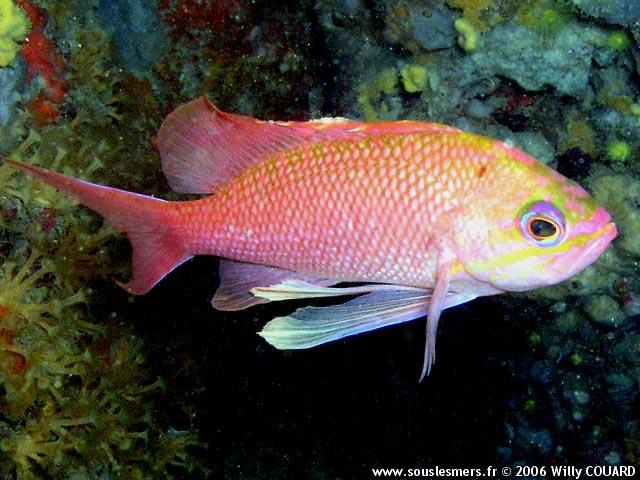 Anthias anthias - anthias